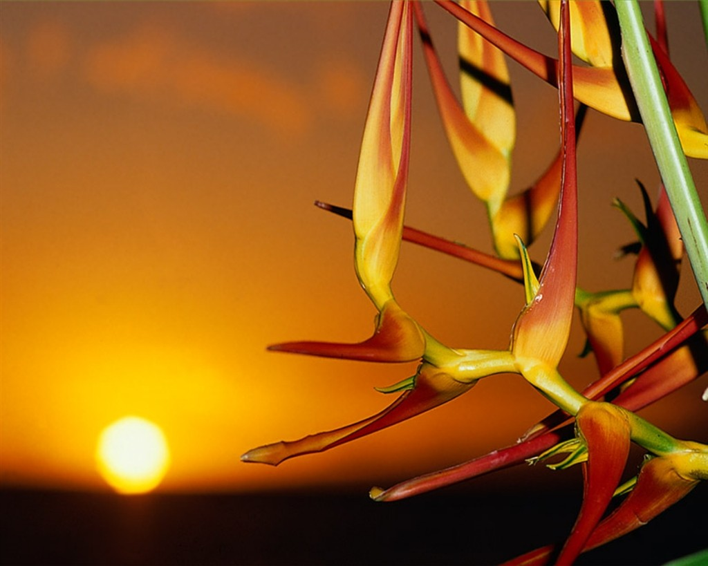 Fleur Oiseau Du Paradis Coucher De Soleil