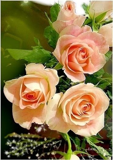 belles roses de couleur p che fleurs couleur peche. Black Bedroom Furniture Sets. Home Design Ideas